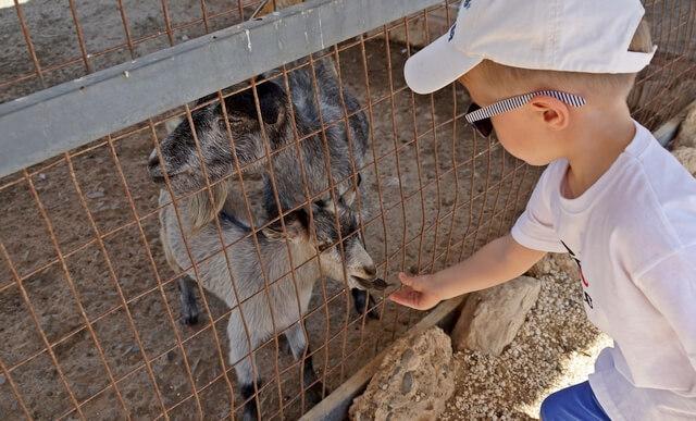 karmienie zwierząt w parku camel park na cyprze