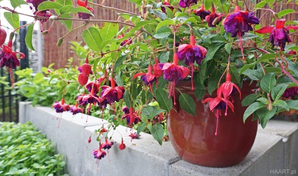 begonie w garnku, oryginalna doniczka na kwiaty diy