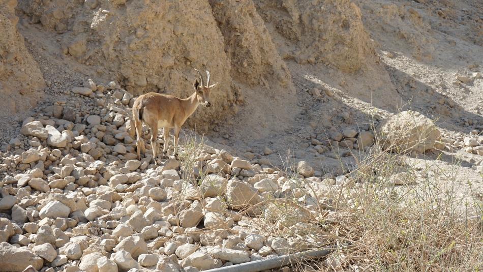 Masada kozica górska