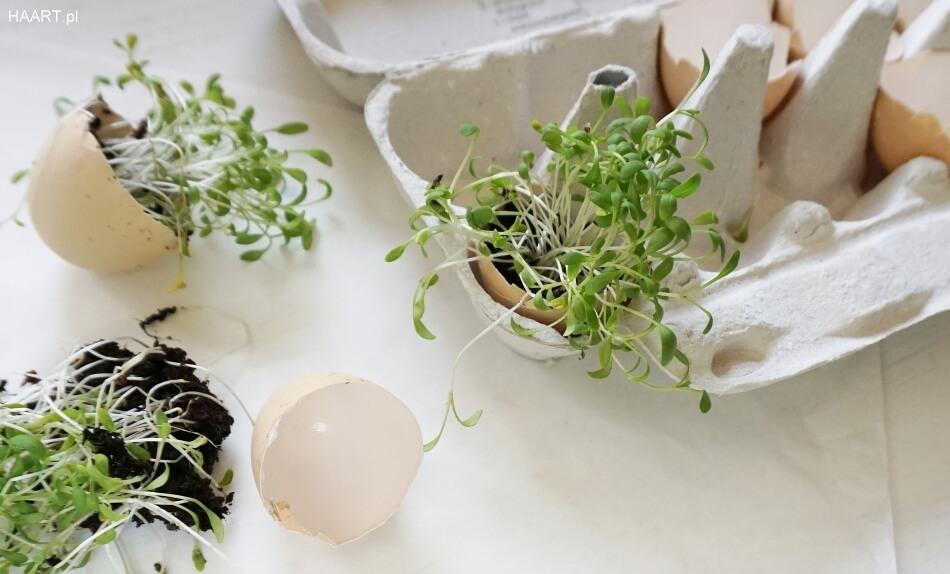 jak posadzić rzeżuchę w skorupce po jajku