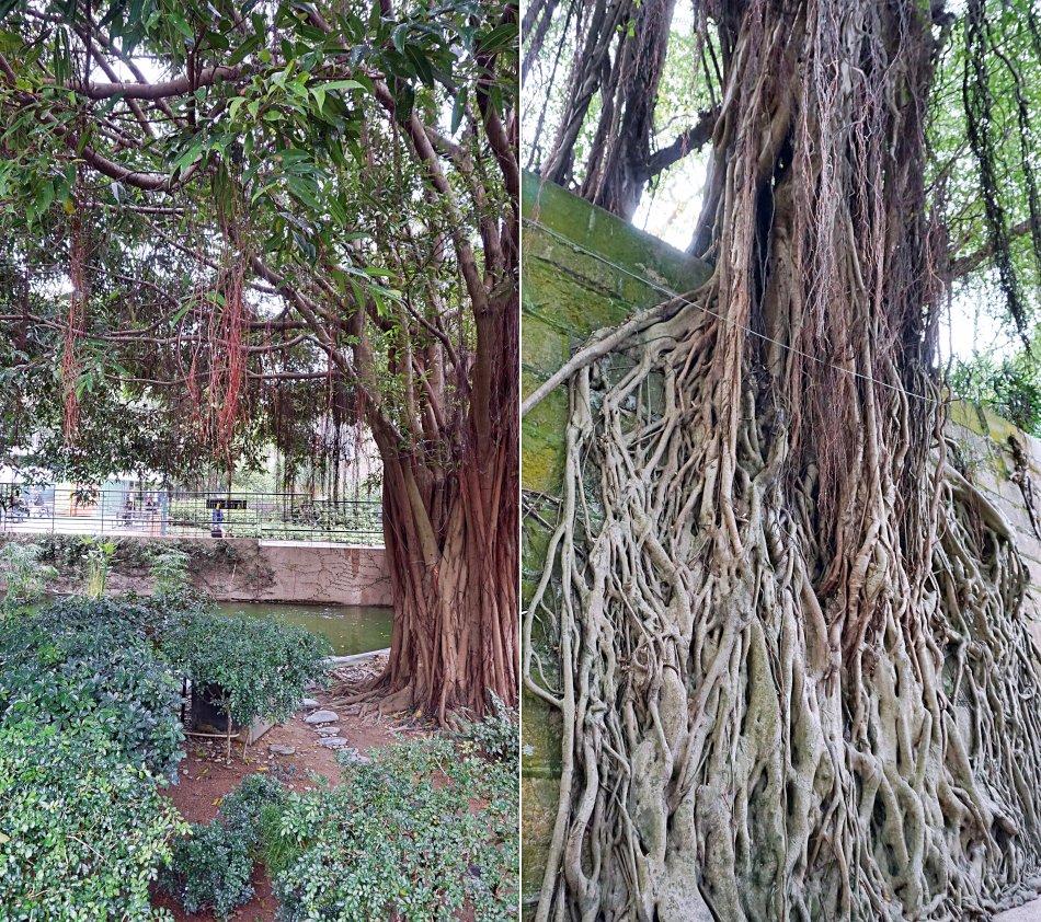 zwiedzanie hong kongu kowloon park drzewa korzenie