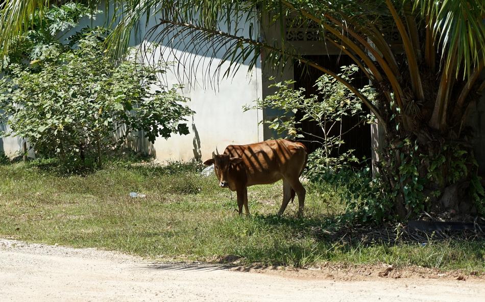 Krowa Wioska w prowincji Krabi