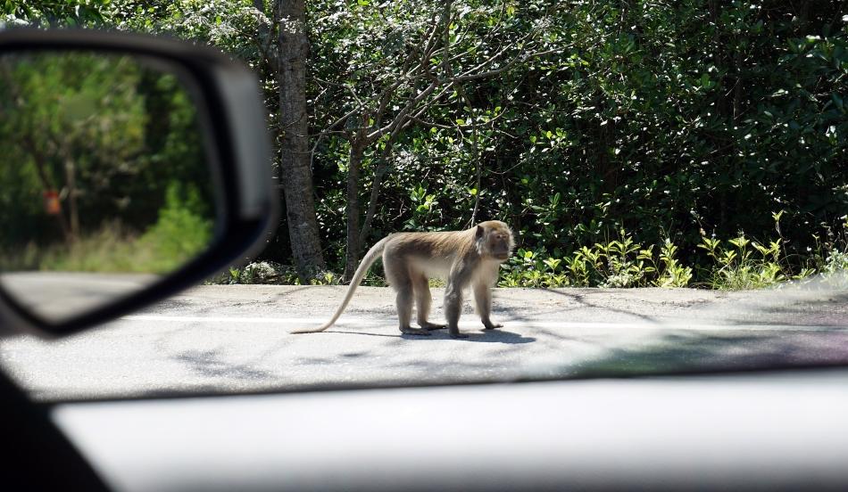 Małpy w Krabi w Tajlandii