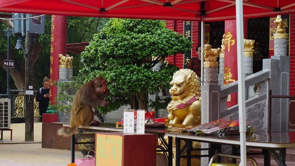 małpy makaki w klasztorze 10000 Buddów w Hong Kongu