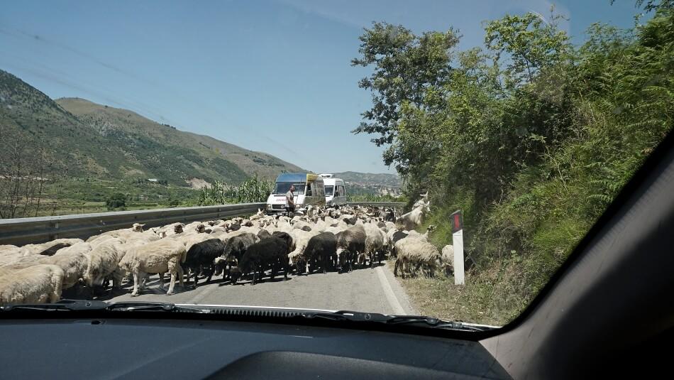 Owce na drodze w Albanii